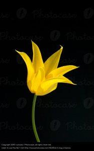 lilienfoermige Tulpe