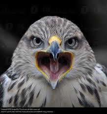 sarcastic-owl