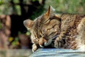 napping-kitten