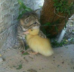 kitten duckling