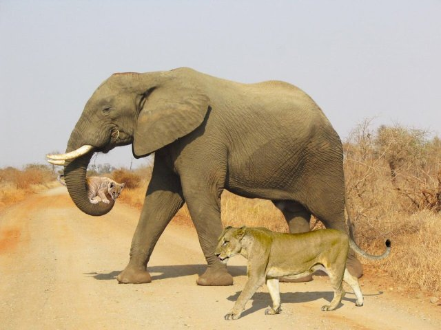 elephant helping lioness