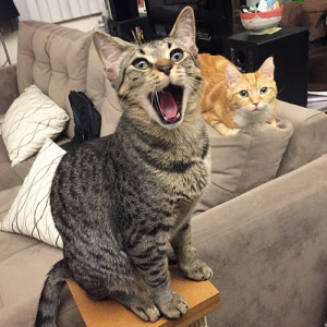 cat singing